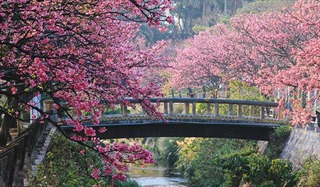 Mùa hoa anh đào – mùa kinh doanh 'màu nhiệm'ở Nhật Bản