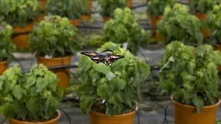 Dùng drone tự động đuổi bướm bảo vệ mùa màng