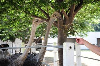 Cận cảnh trang trại đà điểu mới nâng cấp của Triều Tiên