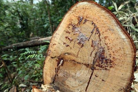 Ngang nhiên 'xẻ thịt' rừng già Nà Pen, Điện Biên