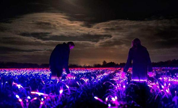 Chuyện về cánh đồng phát sáng vào ban đêm tại Hà Lan