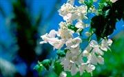 Những chùm hoa nắng