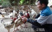 Gà Hồ 'tiến vua' sẵn sàng cho thị trường Tết