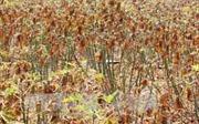 Tây Ninh công bố dịch bệnh khảm lá trên cây sắn