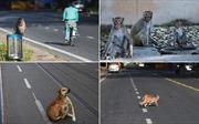 Khỉ, bò, chó chiếm lĩnh đường phố Ấn Độ những ngày phong tỏa vì COVID-19