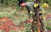 Hồ tiêu vàng lá chết hàng loạt, hàng nghìn hộ nông dân điêu đứng