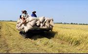 Giá lúa Đông Xuân tại Kiên Giang giảm 1.200 - 1.300 đồng/kg so với vụ mùa trước