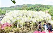 Chiêm ngưỡng xứ sở hoa Tử Đằng đẹp như mơ tại Nhật Bản