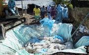 Các địa phương quyết liệt dập dịch tả lợn châu Phi