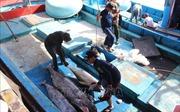 Nhiều khó khăn nâng cao chất lượng cá ngừ đại dương