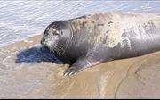Phát hiện cá thể giống hải cẩu trên bãi biển Phú Vang,Thừa Thiên-Huế