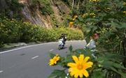 Hoa dã quỳ nở vàng trên núi Ba Vì