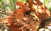 Đắk Nông phát hiện vụ phá rừng quy mô lớn