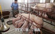 Nghi vấn lợn phía Bắc 'tuồn' vào Bạc Liêu là không có cơ sở