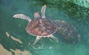 Chiến dịch giảm thiểu vi phạm về rùa biển