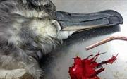 Mảnh vỡ bóng bay - 'thủ phạm' gây ra hơn 40% vụ tử vong ở các loài chim biển