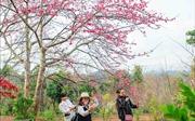 Hoa Anh Đào - Pá Khoang 2019 thu hút hàng nghìn du khách