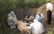 Dịch tả lợn châu Phi phức tạp, lây lan diện rộng tại Hưng Yên