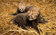 Đột phá: Báo đốm đầu tiên chào đời nhờ thụ tinh trong ống nghiệm