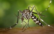 Kế hoạch thả muỗi biến đổi gen chống Zika phản tác dụng