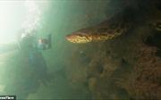 Lạnh gáy cảnh thợ lặn đối mặt trăn Anaconda xanh dài 7 mét