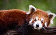 Gấu trúc đỏ thực chất là 2 loài riêng biệt