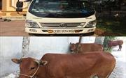 Mang ô tô tải đi trộm bò ở Quảng Bình