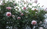 'Mãn nhãn' những giống hồng cổ được 'săn lùng' chơi Tết