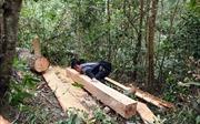 Kiểm tra, xử lý nghiêm vụ rừng già Nà Pen bị phá mà TTXVN phản ánh