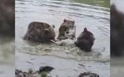 Bầy gấu tấn công hội đồng, xé xác sói cái trước mặt du khách tham quan