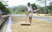 Mường Ảng lao đao vì cà phê mất mùa, rớt giá