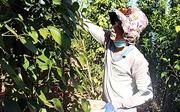 Hỗ trợ người dân thu hoạch hồ tiêu