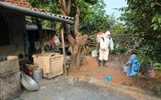 Huyện Phong Điền (Thừa Thiên - Huế) công bố hết dịch tả lợn châu Phi