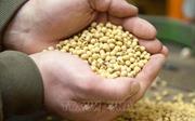Giới phân tích: Cam kết của Trung Quốc mua 50 tỷ USD nông sản Mỹ khó khả thi