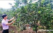 Huyện miền núi Thừa Thiên - Huế nhân rộng vùng trồng cây đặc sản hiệu quả cao