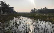 Cây trồng héo, tôm cá chết đầy mặt ruộng vì tràn khoảng 4.000 lít dầu ra môi trường