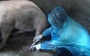 Cà Mau xuất hiện ổ dịch lở mồm long móng trên lợn