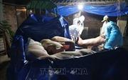 Xem xét hỗ trợ khẩn cấp cho hộ dân có lợn mắc dịch tả lợn châu Phi