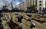 Độc đáo màn 'diễu hành' gia súc tại Thủ đô Tây Ban Nha