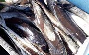 Ô nhiễm cục bộ khiến cá bớp chết hàng loạt ở Đầm Môn, Khánh Hòa