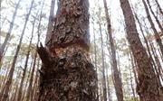 Rừng thông ở Gia Lai liên tiếp bị 'bức tử'