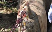 Tiêm thuốc độc vào sừng để... cứu 700 con tê giác