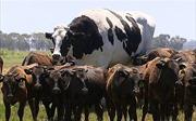 Bò khổng lồ to như chiếc ô tô ở Australia