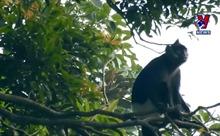 Hà Nam lập Khu bảo tồn sinh cảnh Voọc mông trắng