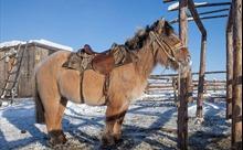 Loài ngựa có thể chống chọi với nhiệt độ -70 độ C ở Nga