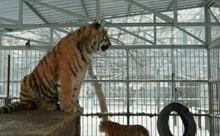 Chú hổ hát tại sở thú ở Nga