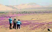 Ngắm hoa nở rực rỡ trên sa mạc khô cằn nhất hành tinh
