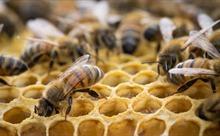 Hà Lan huấn luyện ong 'đánh hơi' COVID-19