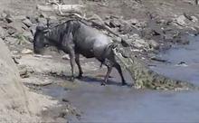 Xem linh dương thoát hiểm ngoạn mục khỏi hàm cá sấu 270kg