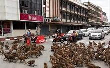Đàn khỉ hoang hỗn chiến khi vắng khách du lịch do COVID-19